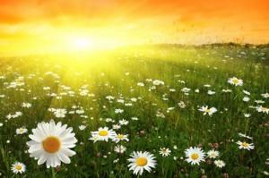 ромашковое поле солнце