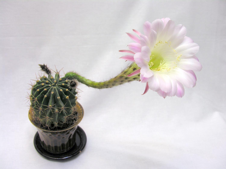 Сколько цветет кактус в домашних условиях