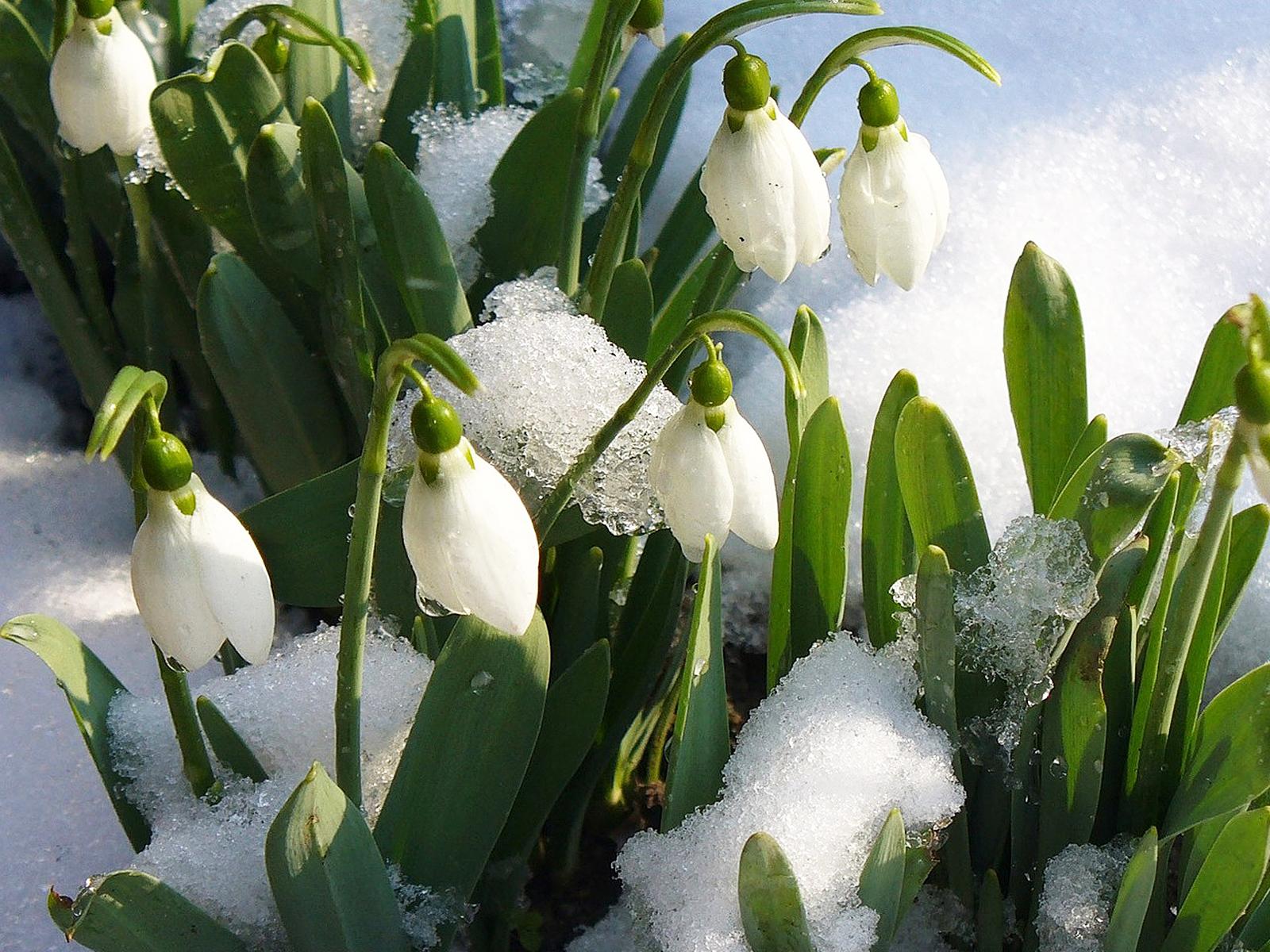 подснежники снег