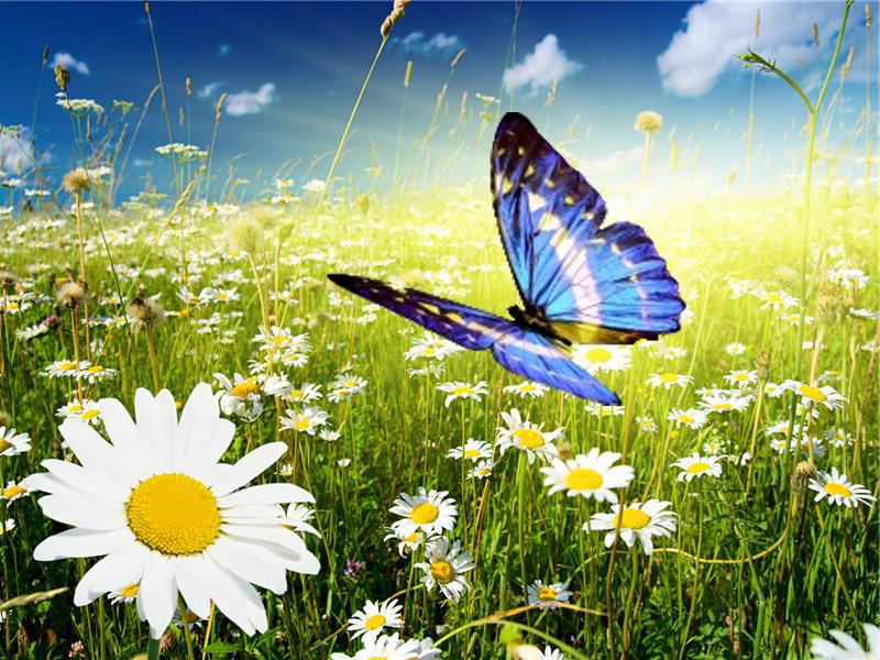 поле ромашек бабочка